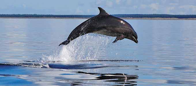 Mit Dolphin Spirit Inverness Delfine bei Luftsprüngen im Moray Firth beobachten