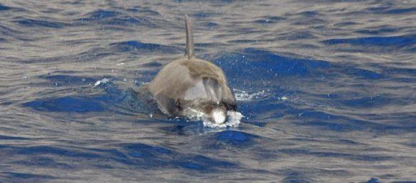 Delfine und Wale mit den Hebridean Whale Cruises ab Gairloch entdecken