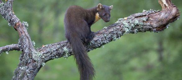 Tier- und Naturbeobachtungen für Groß und Klein macht Speyside Wildlife unter anderen in dem Cairngorms National Park möglich