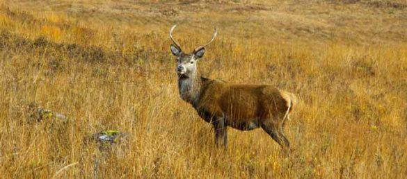 Jäger unternehmen Reisen nach Schottland der Hirsche wegen
