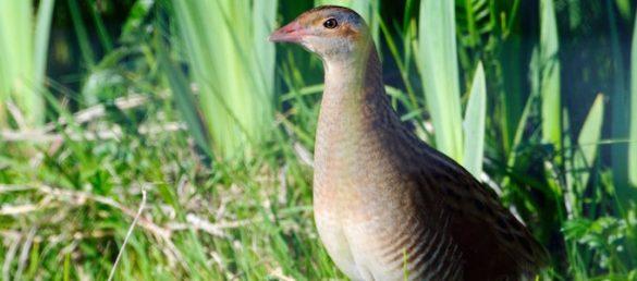Dave Maynard describes the wonderful birdlife on Islay