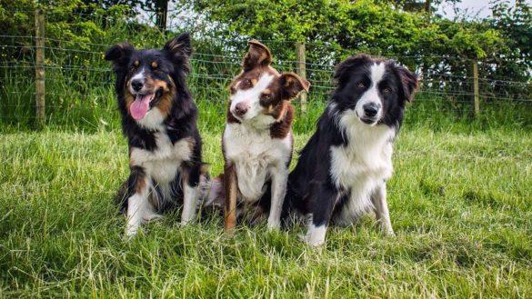 Bei Aberdeenshire Sheepdogs kann man auf der Schaffarm von Michelle und Gary Bruce Hütehunde in Aktion sehen